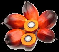 Plant-Derived Cetyl Palmitate